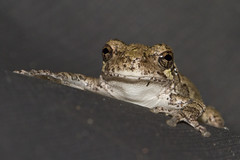 Grey Tree Frog (brucetopher) Tags: frog treefrog grey gray amphibian stick leap look watch