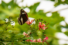 Tranquil (malc1702) Tags: peacockflower flowers garden nature outdoor butterfly bluemoonbutterfly butterflyonflowers indianbutterflies asianbutterflies bokeh nikond7100 beauty fantasticnature
