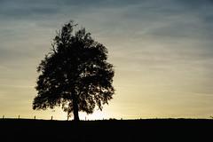 Baum am Abend (blumenandy) Tags: baum baumstamm baumstumpf herbst landschaft mittershausen odenwald pflanze sonne