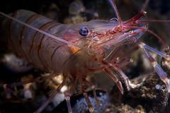 Redline (Palaemon serratus) (Arne Kuilman) Tags: zeeland diving duiken scubadiving netherlands oosterschelde nederland macro animals underwater inon diopter palaemonserratus gezaagdesteurgarnaal garnaal