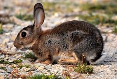 Foraging Rabbit. (pstone646) Tags: rabbit nature animal wildlife fauna dungeness kent mammal closeup