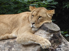 Chilling (m_artijn) Tags: lion artis zoo amsterdam nl tree trunk chilling quiet