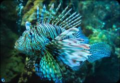 Scorpion Fish (bffpicturesworld) Tags: ocean fish wild scorpion