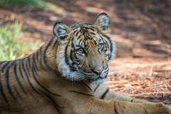 Suka (ToddLahman) Tags: suka sumatrantiger tigers tiger tigertrail tigercub teddy joanne canon7dmkii canon canon100400 sandiegozoosafaripark safaripark escondido