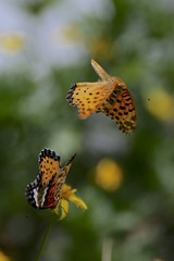 Dancing butterflies (joka2000) Tags:  butterfly paintedlady dancing malefemale