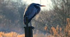 Great Blue Heron (careth@2012) Tags: wildlife heron greatblueheron nature bird beak feathers pose
