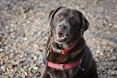 olive (Leanne Phillips) Tags: choclab labrador chocolatelabrador dog doglove