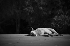 Siesta. (Wilickers) Tags: canon eos 60d black white selective focus south america argentina buenos aires blur monochrome vignette photography dog animal sleep travel pavement