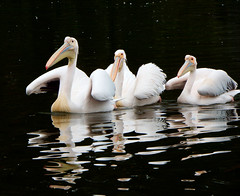 Pelicans (STEHOUWER AND RECIO) Tags: pelican pelicans birds water waterbirds pelikaan pelikanen aquatic bird vogel vogels fauna aqua white black reflection reflections three avifauna netherlands animal animals direction trio portrait formation pelecanidae waterbird henet