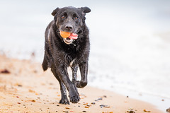Coming at ya! (Marcus Legg) Tags: marcuslegg max pet labrador blacklabradorretriever black tennisball ball beach sea outdoors bokeh wetdog wet water canon eos running joy dribble seaside dogs pebbles play coast sand