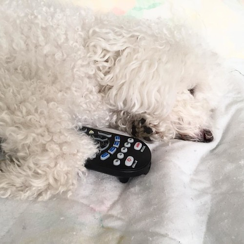 My Chloe #puppy #pup #toydog has her own specific #tvshows to watch and hugs the #remotecontrol 😂 #photography #photooftheday #phitograph
