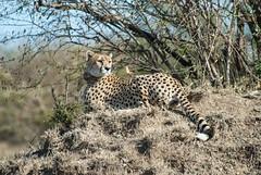 Nabiki I (Makgobokgobo) Tags: cheetah predator mammal naiboshoconservancy naibosho mara kenya africa acinonyxjubatus acinonyx