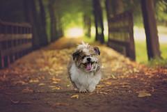 Hummel, little shelter dog (xipevideo) Tags: dog portrait shelter dof nikon d600 105mm bokeh