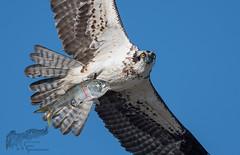 Osprey 9_15 1 (krisinct- Thanks for 12 Million views!) Tags: nikon d500 500 f4 vrg