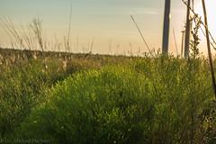 West Texas Morning (14 of 40) (mharbour11) Tags: wildcats elk purple sunrise westtexas texas sky windturbines windmill sun silhouettefire silhouette