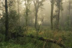 Misty Rain (.Brian Kerr Photography.) Tags: scotland landscape dumfriesandgalloway mist rain diffusedlighting photography trees forest woodland light mistymorning appicoftheweek outdoor tree plant