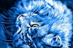 On Blue (eagle1effi) Tags: maine coon cat miezi grace silvana tbingen eagle1effi damncool muschi pussy mulle vinci art bike motorbike harley davidson motrorrad kunst