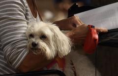 Dog Admission Day, Morton Arboretum. 5 (EOS) (Mega-Magpie) Tags: canon eos 60d outdoors cute puppy dog admission day the morton arboretum lisle dupage usa america