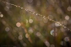 (mschroeder_36x24) Tags: wassertropfen reflexionen bokeh natur grashalm