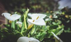 DSC_9031 (jonypepenacho) Tags: 50mm nikon nikkor nikond7000 d7000 verde bokeh calas flor