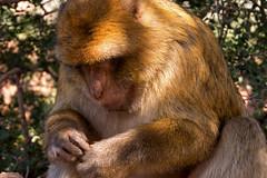 Barbary ape (darrenkemp3) Tags: barbaryape morocco mountain ouzoud wild macaque africa primate atlas