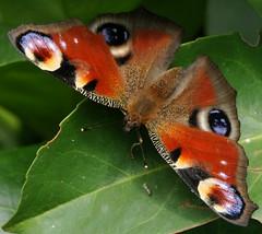 fatto da mamma natura... (andrea.zanaboni) Tags: farfalla butterfly vanessa occhidipavone nikon macro colori colors moda