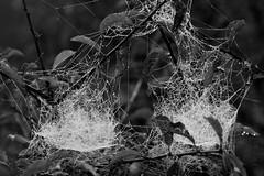 Zweiraumwohnung - two room apartment (Florian Grundstein) Tags: net spidernet nature spider macro closeup nahaufnahme makro netz spinnennetz spinne dew tau droplets wassertropfen morgentau morning water reflections diamonds monochrome bw schwarzweis nikon d610 fx fullframe sigma 105mm os