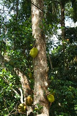 Bandarawela village (cvandega) Tags: sri lanka asia bandarawela village durian jackfruit