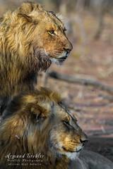 GV0A7622 (armandgrobler) Tags: lions brothers kruger krugerdaysafari krugerdaytours krugernationalpark krugersafari krugerphotosafari krugerphotographicsafari animals africa africanbig5safaris africansafari adventure armandgroblerphotography nature safari southafrica photosafari passion photography photographicsafari experience experienceafrica travel canonsa canon cat cats canonphotography bigcat big5 bigfive