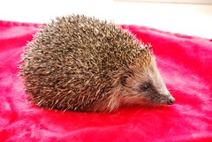 Hedgie (vr6woman) Tags: hedgehog hedgie muchwenlock cuanhouse