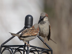 bullying and defiance (1/5) (altan o) Tags: male domination sparrow argument housesparow
