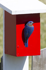 Bluebird (Rich Terrell) Tags: easternbluebird