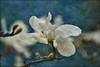 Magnolia (Diana Thorold.) Tags: art texture psp interesting ie manipulate 2013 tatot dianathorold magicunicornverybest magicunicornmasterpiece