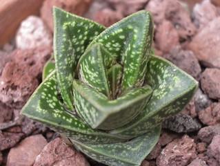 Gasteria batesiana x Aloe variegata