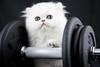 Les Persans de Fannie (Les Persans De Fannie) Tags: cats pets sport cat persian chats kitten chat force chinchilla fitness animaux fannie chaton chatons persan musculation altere vã©rification
