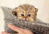 Les Persans de Fannie (Les Persans De Fannie) Tags: cats pets cat automne golden persian chats kitten chat chinchilla chapeau animaux fannie chaton chatons persan goldenshaded
