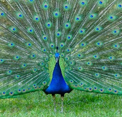 Peacock e ness (Let the light in.) Tags: blue bird florida ngc feathers peacock staugustine peafowl plumage fountainofyouth blinkagain eyespottedtail