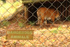 Sumatran tiger at Paignton Zoo. Taken on 20-10-2012 - 15_41_15.jpg (atthezoouk) Tags: camera cats unitedkingdom devon sumatrantiger zoos paignton paigntonzoo cameralens animalphotos biaza efs55250mmf456is canoneosrebelt1i