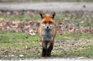 Fox (13) Just one of the wild foxes running round the naturist foundation i hope you like them