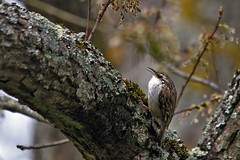 Grimpereau (Philippe Garcelon) Tags: certhiabrachydactyla shorttoedtreecreeper grimpereaudesjardins passriformes certhiids parcduconfluentarigegaronne