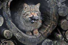 Bingo! (Pim Stouten) Tags: cat kat feline chat katze wildcat felissilvestris wildekat anholterschweiz wildkatze europischewildkatze wildkat felissilvestrissilvestris europesewildekat europeanwildcat