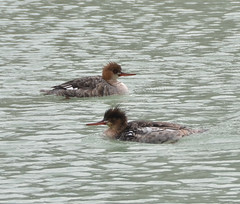 Female merganser ducks (psiegle) Tags: merganserducks gillsonpark femalemergansers