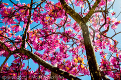 Pink Trumpet Tree (Images by April) Tags: pink tree canon 5d markii pinkflowers sprink pinktrumpettree