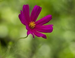 Pink Cosmos (Anna Calvert Photography) Tags: pink plant flower green floral garden petals stem daisy pollen cosmos
