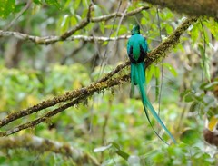 An Impressive Bird Even From The Back (Odonata457) Tags: male quetzal resplendent pharomachrusmocinno