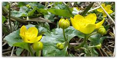 Er komen weer allerlei bloemen tevoorschijn............ (Geziena) Tags: sony geel bloemen fietsen katje bloeien dschx1