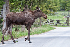 Moose X-ing (dbushue) Tags: road nature forest nikon crossing wildlife moose trail wyoming 2012 grandtetonnationalpark gtnp cowmoose specanimal moosewilsonroad deathcanyontrailhead dailynaturetnc13 photoofthedaynwf13