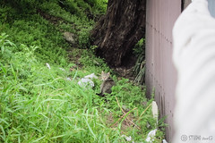Today's Cat@2013-04-21 (masatsu) Tags: cat canon catspotting thebiggestgroupwithonlycats powershots95