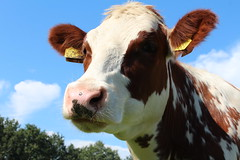 One of my Models  Olympic Stormy 2  Explore # 117 ( 22-4-2013 Thanks !!! (excellentzebu1050) Tags: closeup cow cattle farm explore explored animails frameit takenwithlove 100commentgroup alittlebeauty mygearandme thegoldenachievement rememberthatmomentlevel1 vigilantphotographersunite