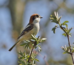 Woodchat shrike (Paul Green Photography) Tags: nature birds wildlife aves woodchatshrike nbw canonef400mmf56lusm